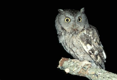 Eastern Screech-Owl | MDC Discover Nature
