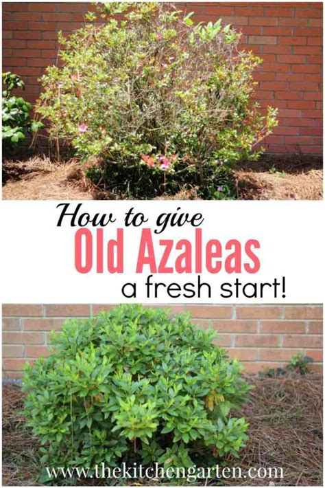 How to Prune Azaleas: Give Old Plants New Life- The