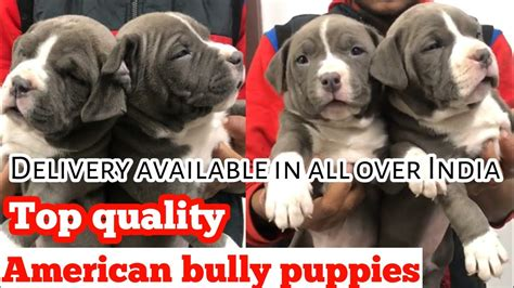 Top quality American bully puppies ! delivery available in
