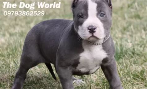 100% Pure American Pitbull Muscular Puppies for sale in