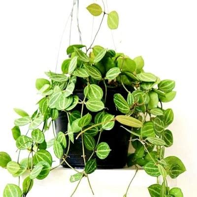 Climbers & Creepers Plants buy Online at cheap price on