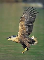 White-tailed eagle stooping for fish, Scotland