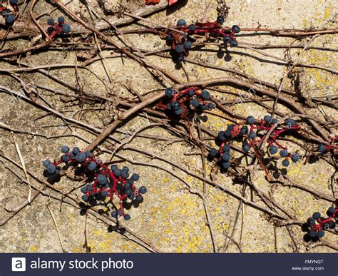 Grape Vine High Resolution Stock Photography and Images