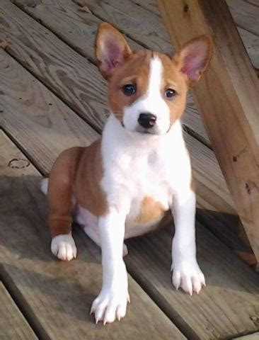 AKC Basenji Puppies for Sale in El Lago, Texas Classified