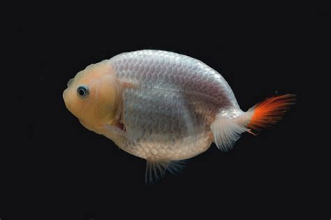 What's the difference between a Ranchu and a Lionhead