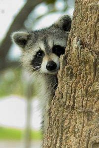 Raccoon - Facts, Pictures, Diet, Habitat, As Pets and