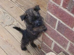 Beautiful Cairn Terrier Puppies for sale