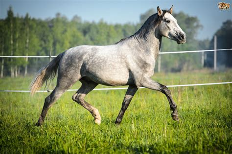 The Andalusian horse   Pets4Homes