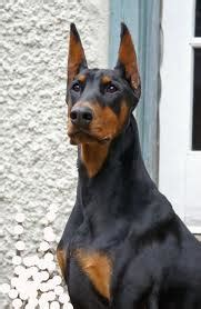 Cropping, Docking & Dew Claws - AKC Doberman Pinschers for