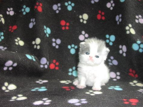 2 Beautiful Blue White Persian Kittens FOR SALE ADOPTION