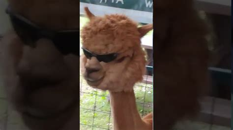 look at this llama with sunglasses - YouTube