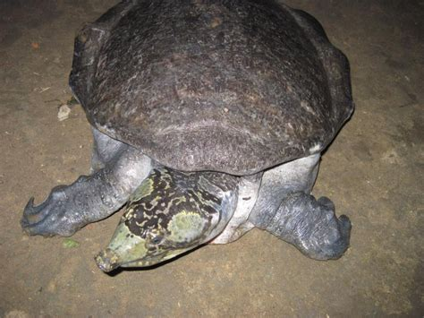 Black Softshell Turtle Facts and Pictures