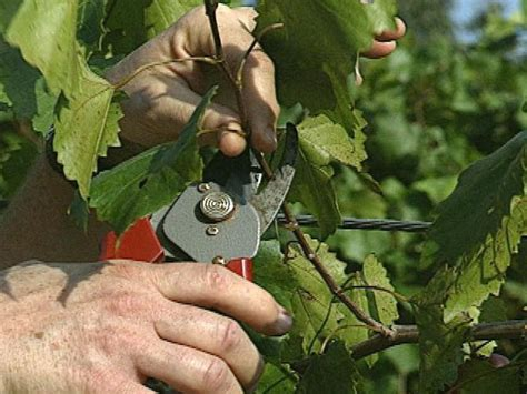 How to Grow Muscadine Grapes | how-tos | DIY